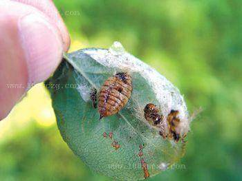 花木盆景的三大害虫及其防治
