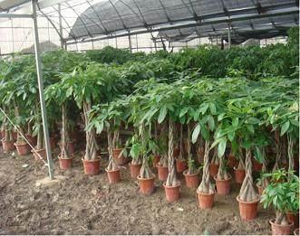 温室内树桩盆景的养护