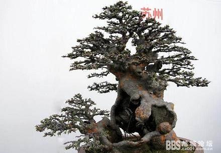 榆树老桩盆景怎么成活的4个方法 图片