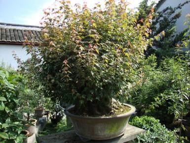 三角枫盆景最好在春季发芽前翻盆 图片