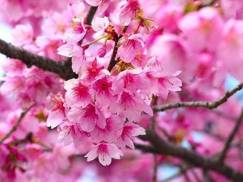 樱花秋季树体管理