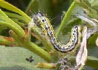 雀舌大叶黄杨娟野螟的防治方法
