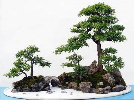 在樹石盆景的山石上種植樹木
