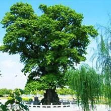 雀舌羅漢松盆景的嫁接時間在春季發芽前