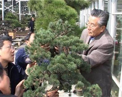 树桩盆景怎样进行修剪?