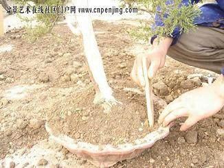 怎样给小盆景施肥发芽较快的方法