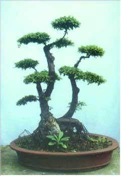 雀梅盆景怎样制作与养护的方法