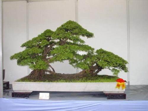 雀梅盆景养护管理和观赏