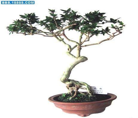 济南微型盆景生根后怎样培养造型