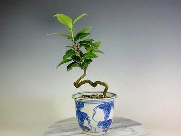 山茶盆景在冬季需置于室内越冬 图片