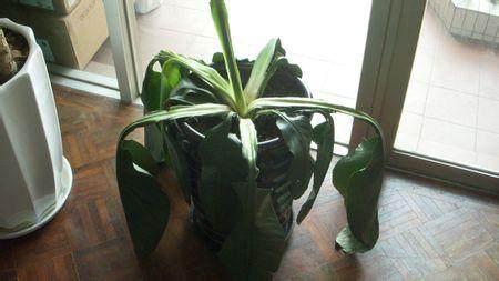 请问我的这个室内盆栽植物怎么养护呢?