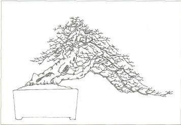 榆树盆景的栽植培养和蟠扎方法 图片