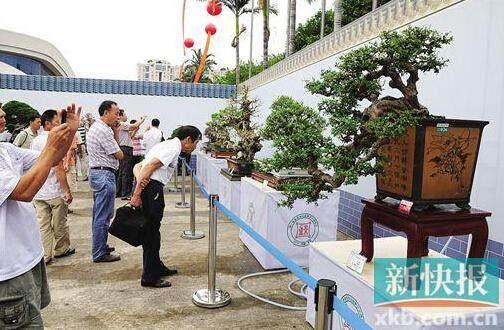 东莞人最钟情罗汉松盆景 价格喊道八九百万元甚至千万元也是常见
