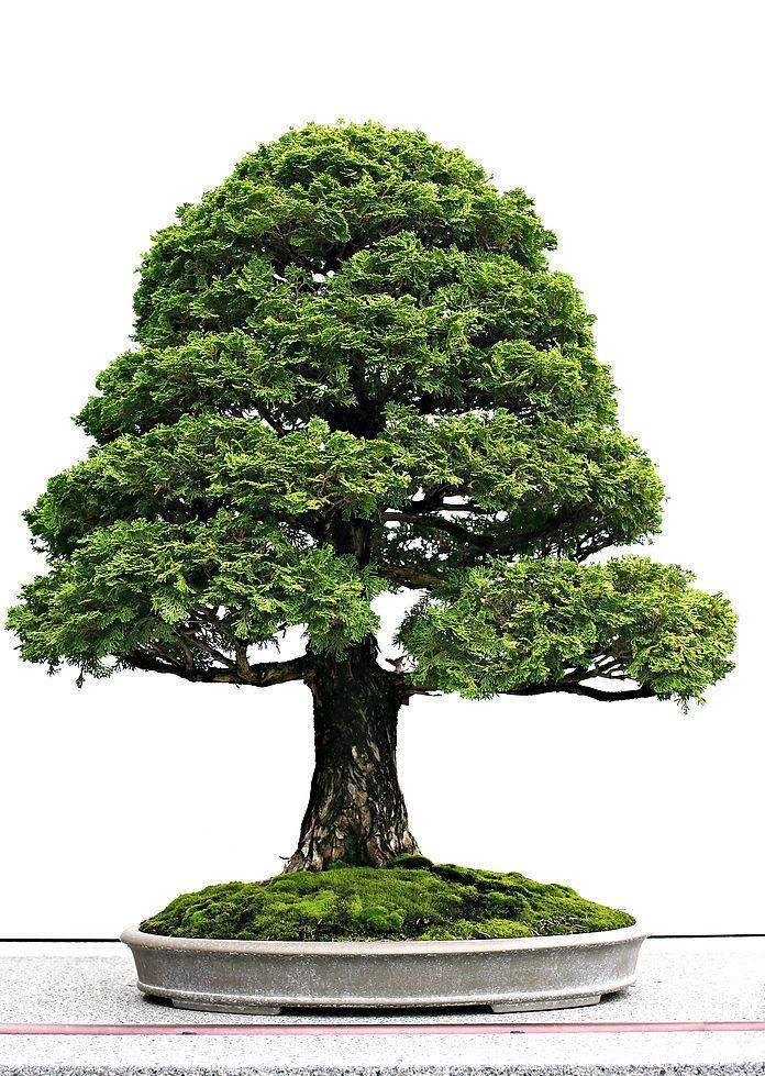 柏树盆景的欣赏与丝雕设计艺术 图片