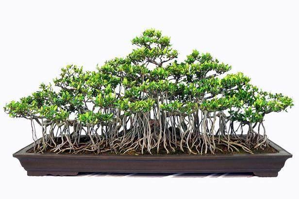 浅谈榆树盆景的主枝养护