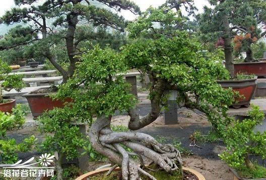 榔榆和小叶榆树的树干外观不一样的原因?