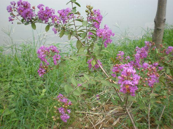 紫薇盆景可否用高壓法繁殖 什麼時候最好