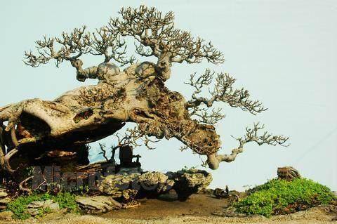 樹木盆景的根型與洗根的生長機理