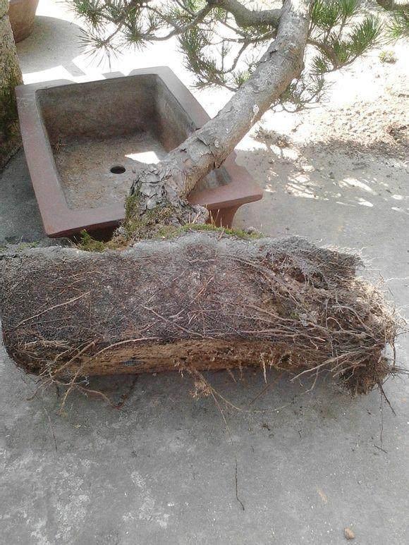 五针松 如何安全度夏?40年以上的特大型盆栽如何换盆?