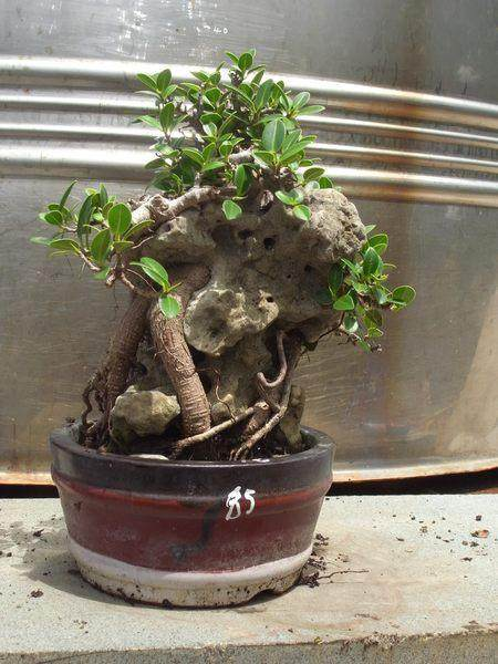 夏季附石榕树盆景如何修剪去叶?