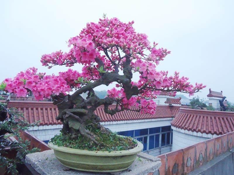 杜鹃可以栽培成各种盆景造型与任何尺寸