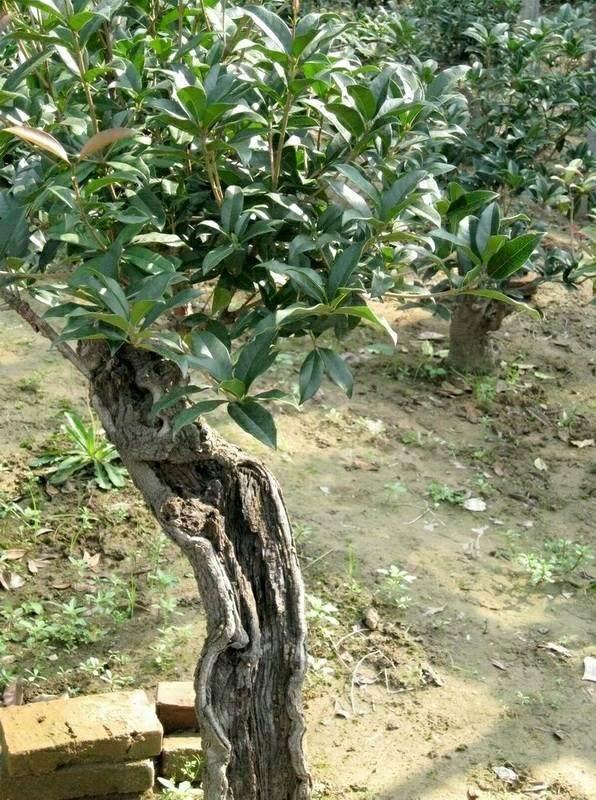 桂花亚博app苹果下载嫁接的接穗和砧木