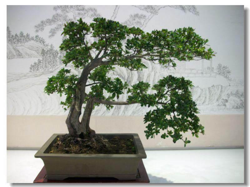 风信子盆栽的室内栽培技术