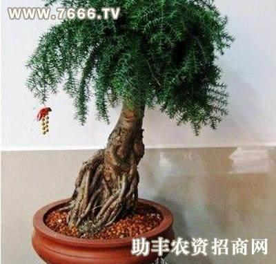 盆景高手祁文连来给大家说说用澳洲杉做盆景的技巧