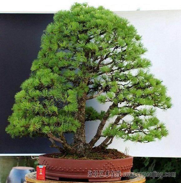 日本黑松是盆景的縮影