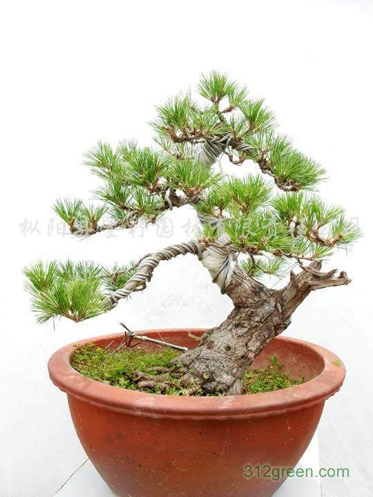 黑松可以栽培成各种造型和各种尺寸的盆景