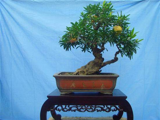 我有几个花石榴老桩,想把它嫁接成花果并存的石榴盆景,不知能否可行?