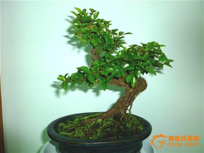 雀梅盆景怎么发芽养护的方法 图片