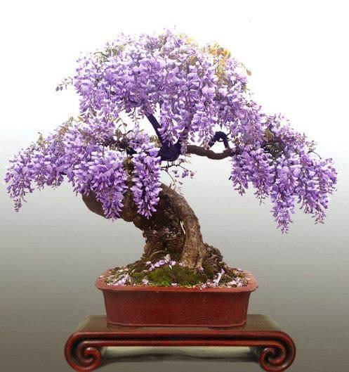 日本紫藤与中国紫藤 后者的生命力较为强韧