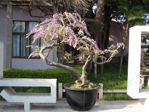 紫藤盆景怎么造型设计的方法 图片