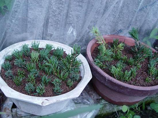 胡椒木 如何进行繁殖?重剪下的枝干能否扦插?