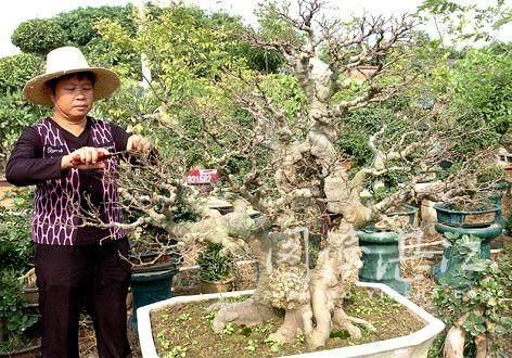朴树盆老桩景怎么制作与养护 图片