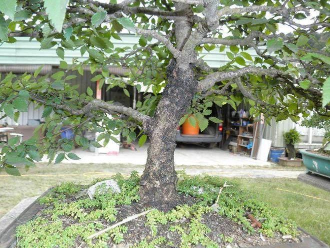 日本榉树盆景的养护方法