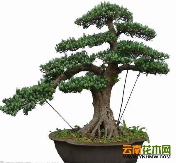 借助材料和工具来增强树桩盆景的艺术