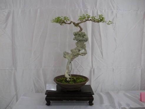 黄荆树桩怎样生根制作与养护的方法