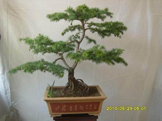 落叶松可以栽培为各种造型和各种尺寸的盆景