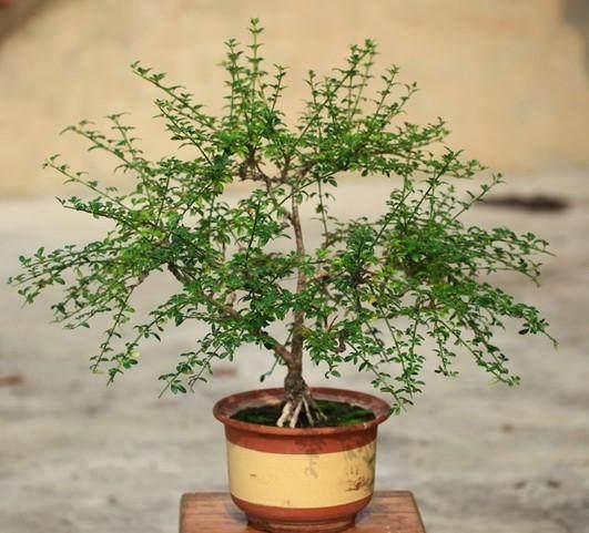 迎春盆景的植物学知识有哪些?