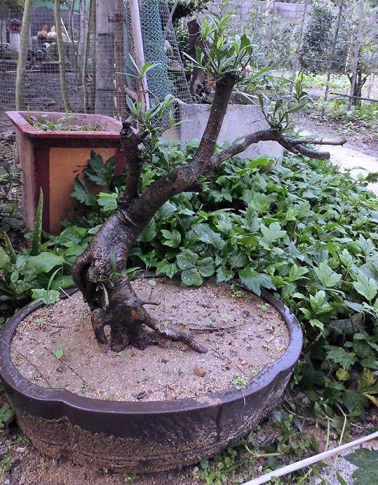 新桩盆景怎样栽植定型的方法 图片