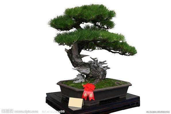 浅谈树桩盆景发芽制作中的个形态 图片