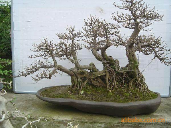 三角枫树桩盆景《金陵风骨》小析