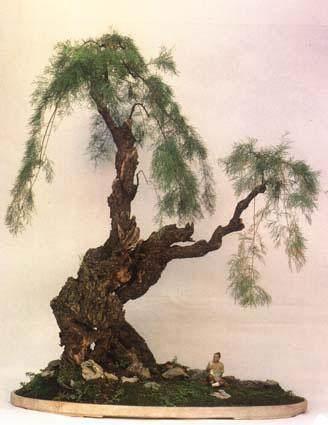提根式南天竹老桩盆景怎样培植生根