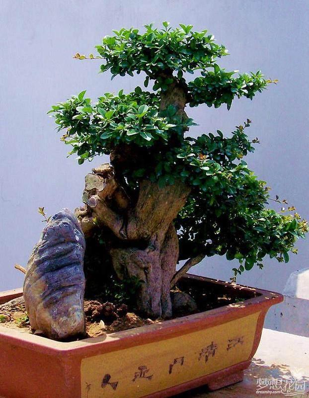 想咨詢一下 怎樣制作榕樹盆景?