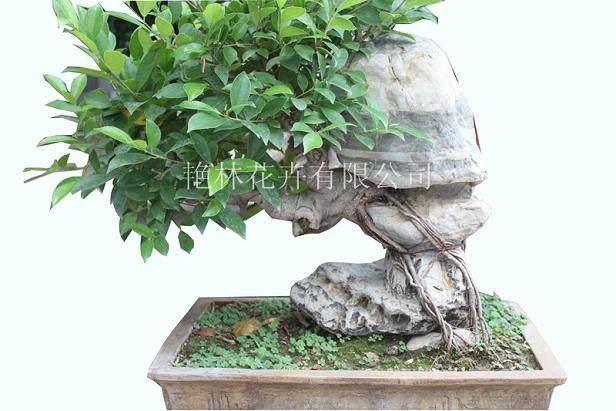 盆景榕树上能嫁接什么植物?