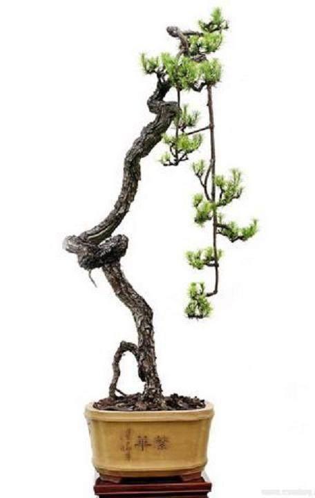 读一件日本文人树风格的盆景