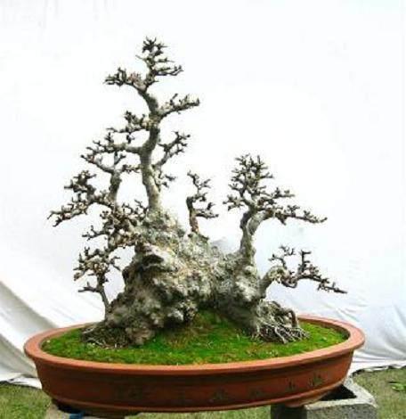 树桩个性盆景怎么造型设计的方法 图片