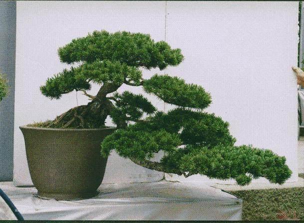 有一株四季常青的树桩不知树名 也不知如何造型?